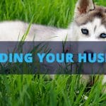 husky food feeding schedule