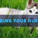 husky food feeding schedule