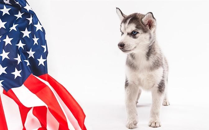 Puppy huskies in america