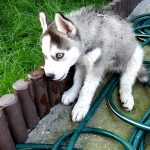 husky chewing garden fence
