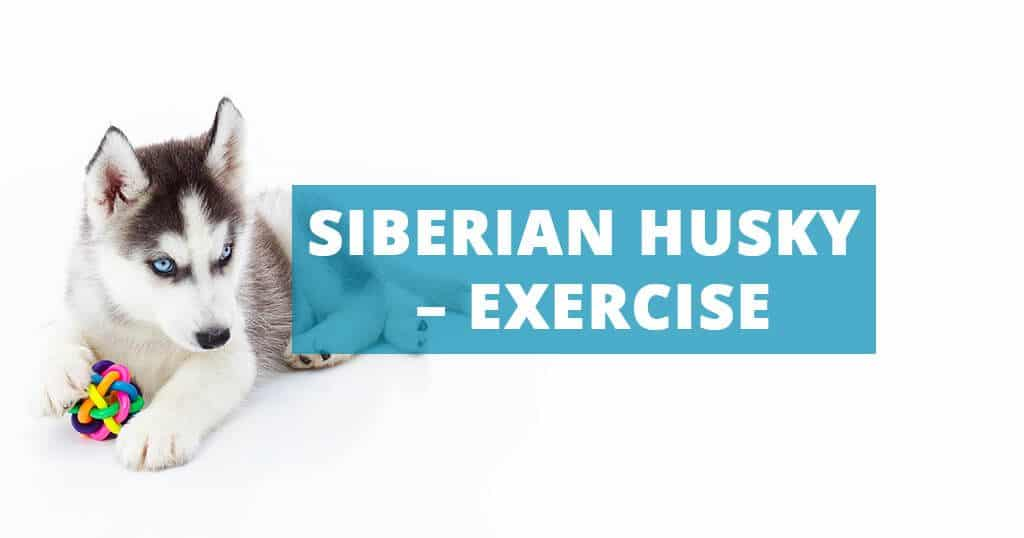 siberian-husky-exercise-daily-walk-play-activities