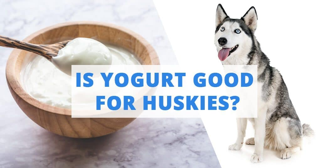 yogurt-is-good-for-husky-siberian-dogs