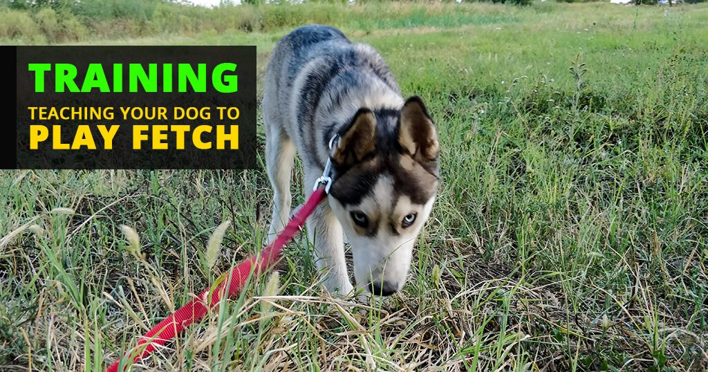 How-to-train-your-dog-to-fetch-siberian-huskies-puppies