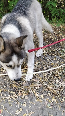 fetch dog husky training