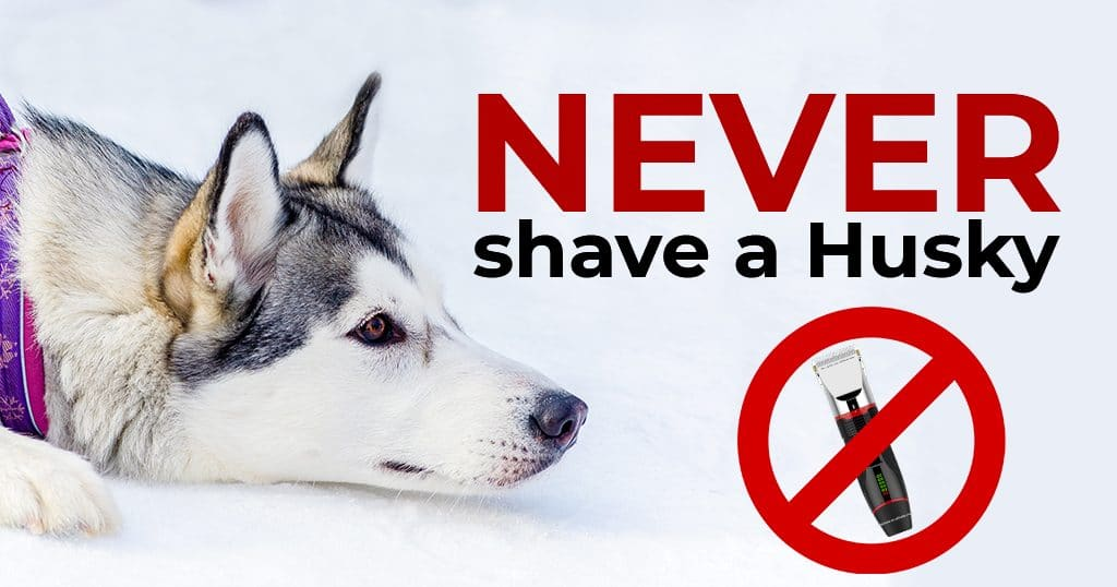can you shave a husky