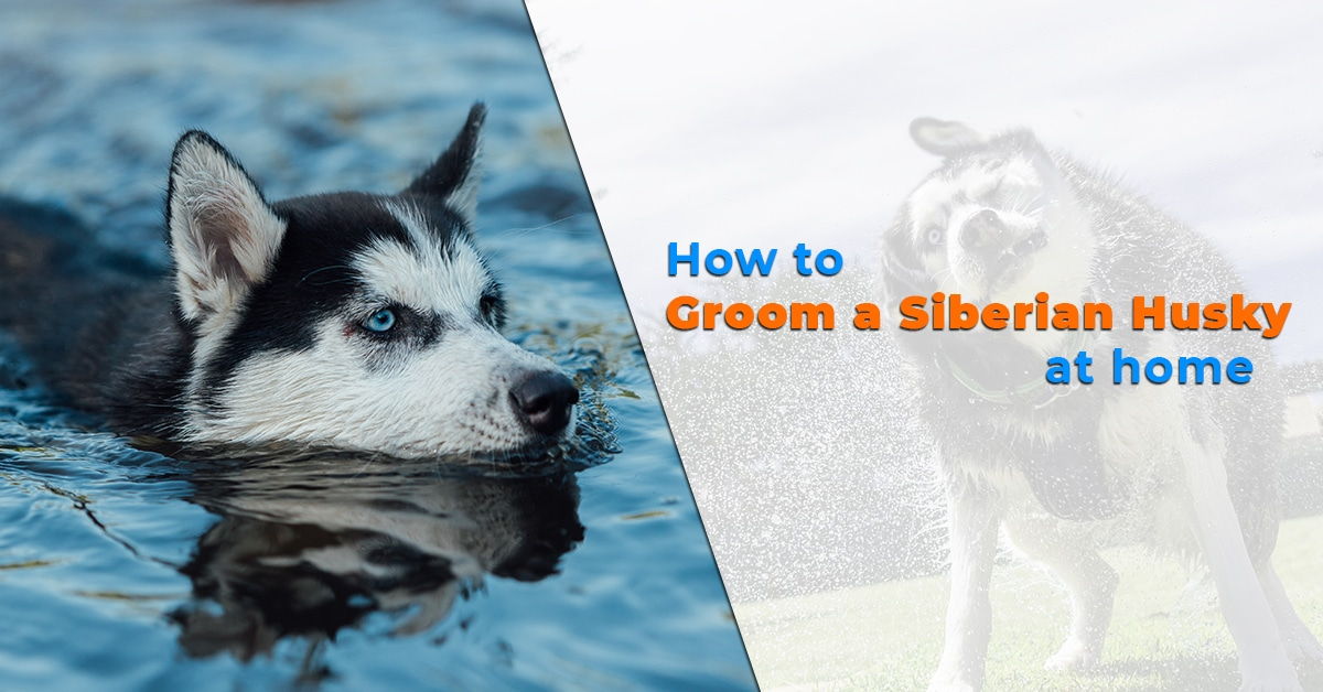 How To Groom A Siberian Husky At Home