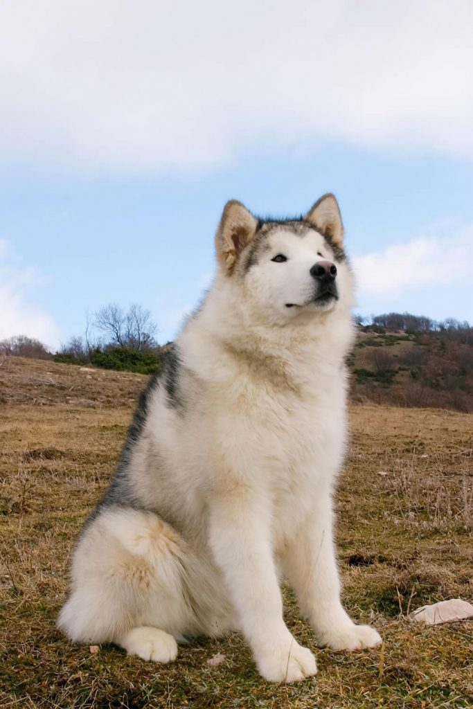 Big boy Alaskan Malamute