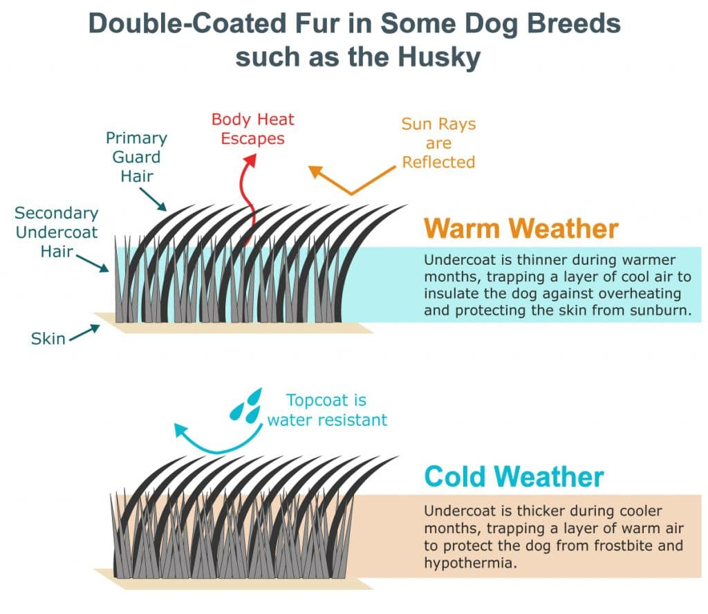 husky double coat in warm and cold weather