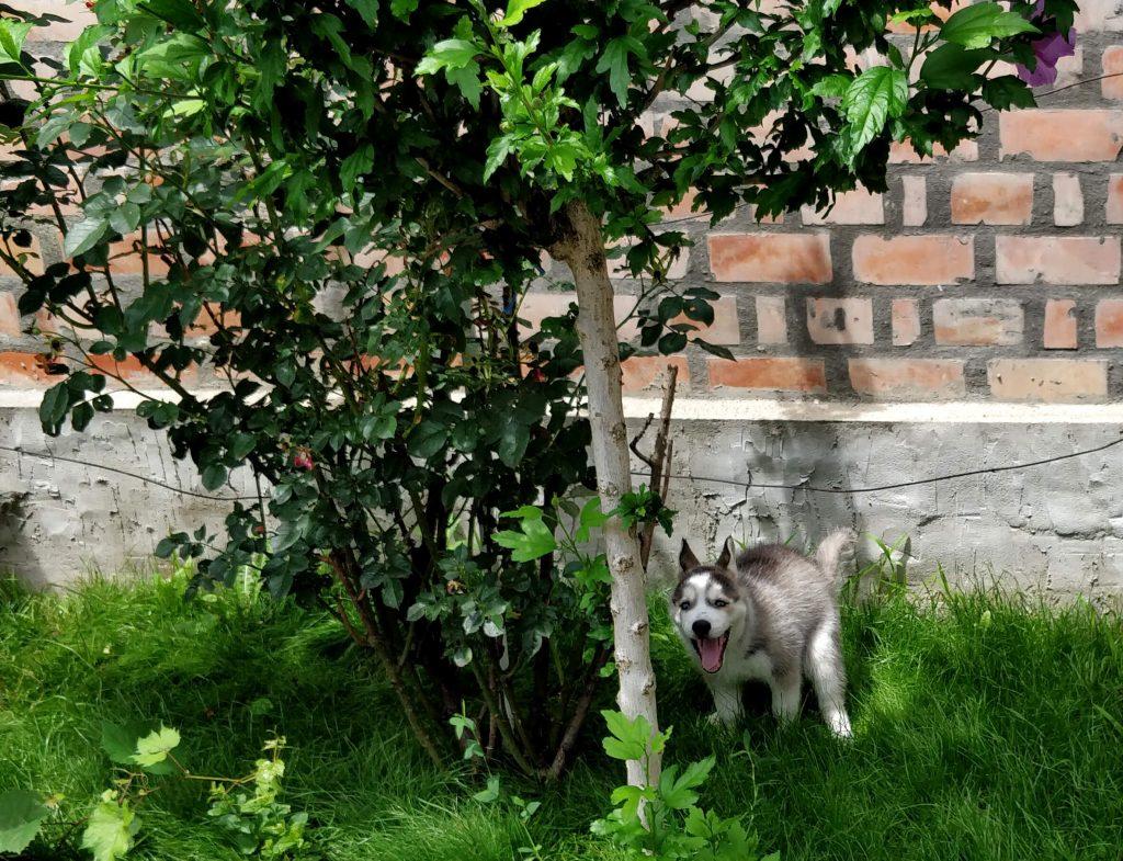siberian husky pooping