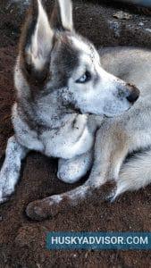 Siberian Husky digging