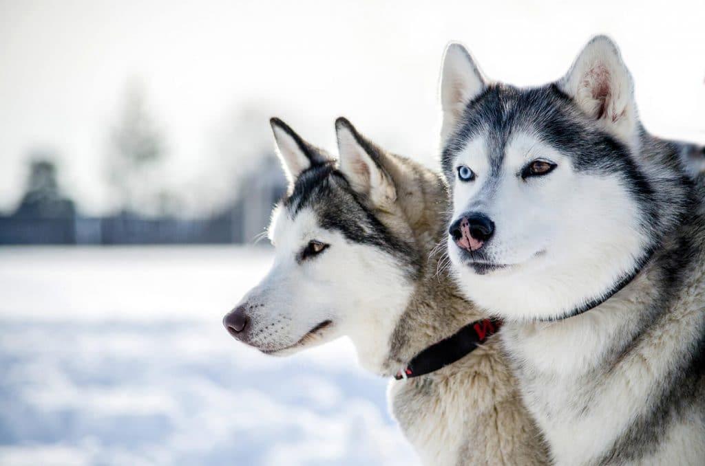 Two Siberian Huskies in the winter
