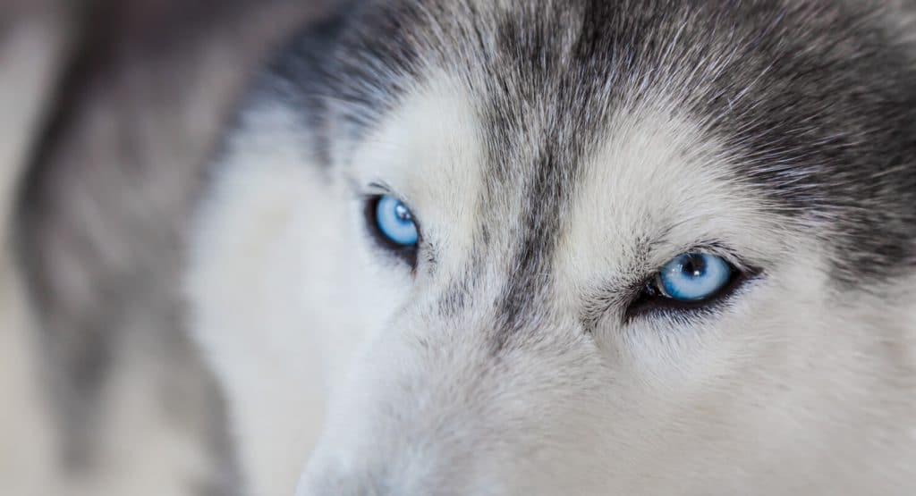 amazing ice blue eyes dog