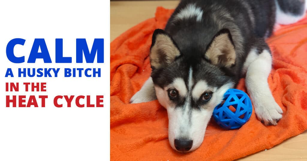 calm-a-husky-bitch-in-heat-cycle