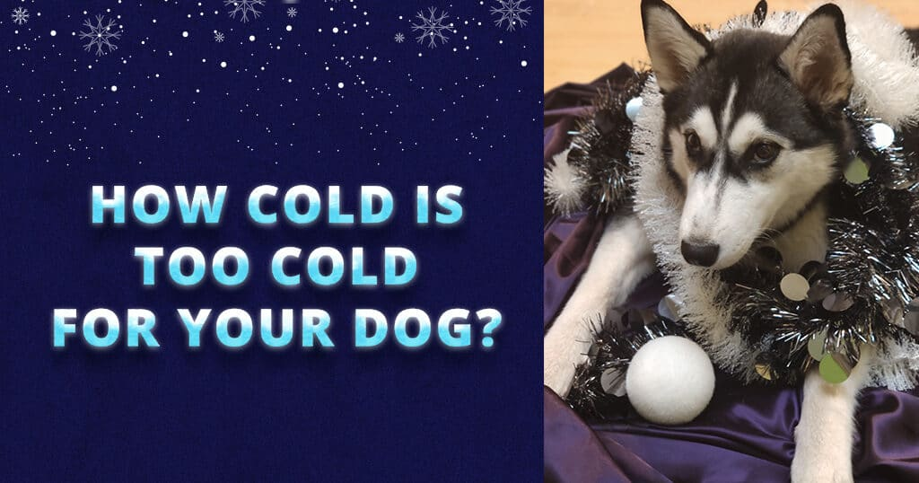 how-cold-is-too-cold-for-your-dog-siberian-husky