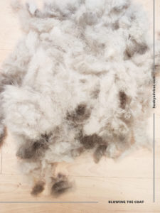 husky coat blowing