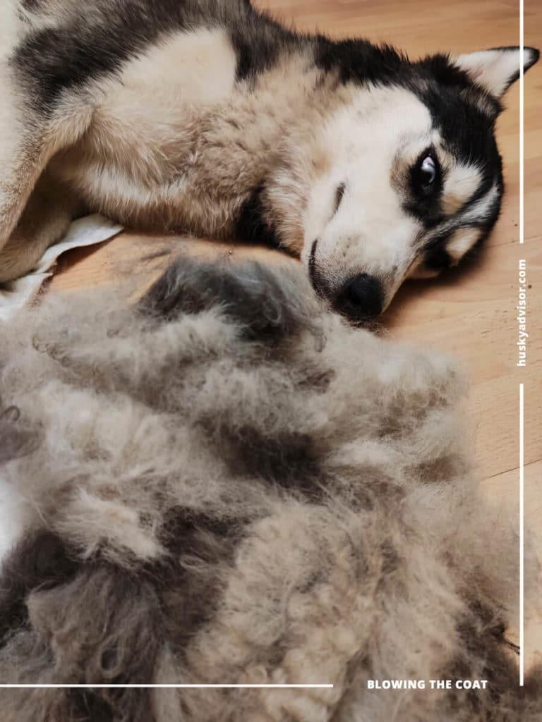 Blow the coat siberian husky female