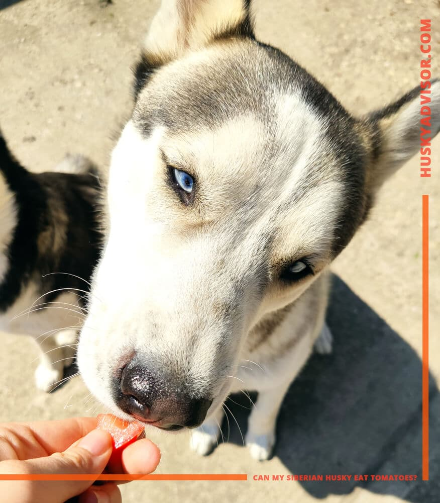 can my siberian husky eat tomatoes and fruits