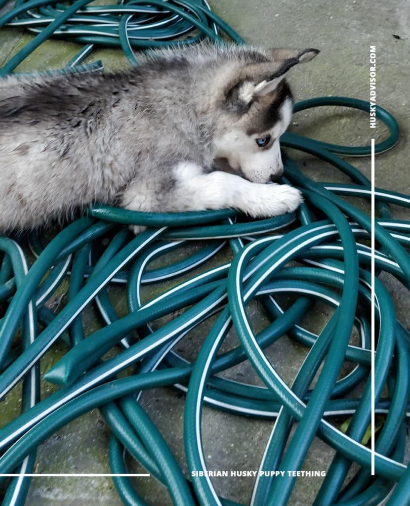 puppy husky chewing garden hose