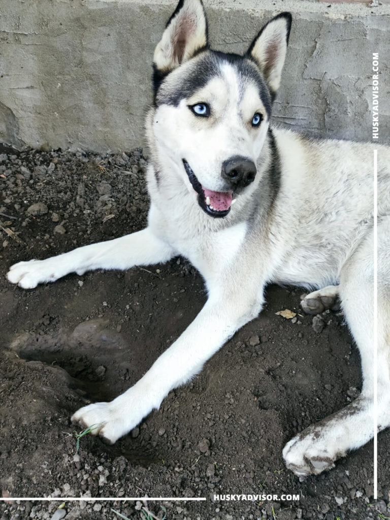 siberian huskies dig