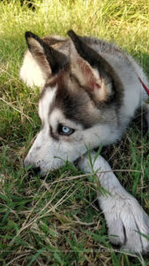 Siberian husky with blue eyes lying on the grass