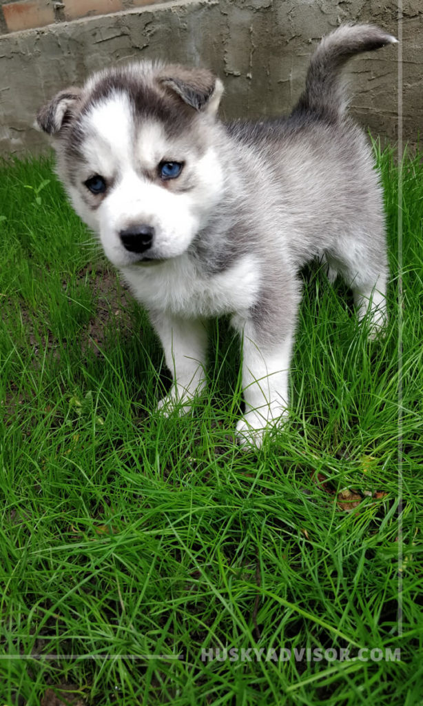 when will my husky puppy ears stand up