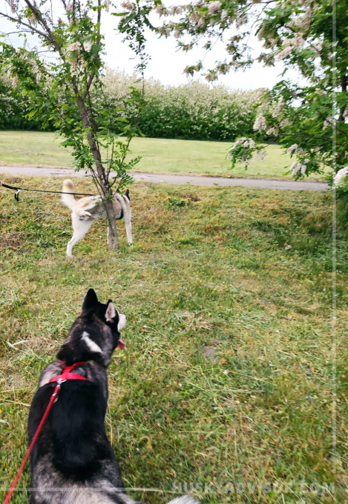 huskies behavior on a walk