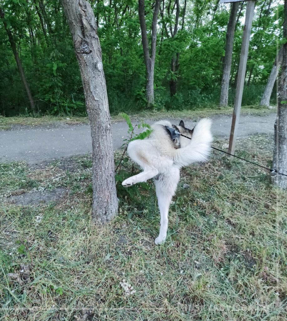 Siberian husky lifting his leg to pee