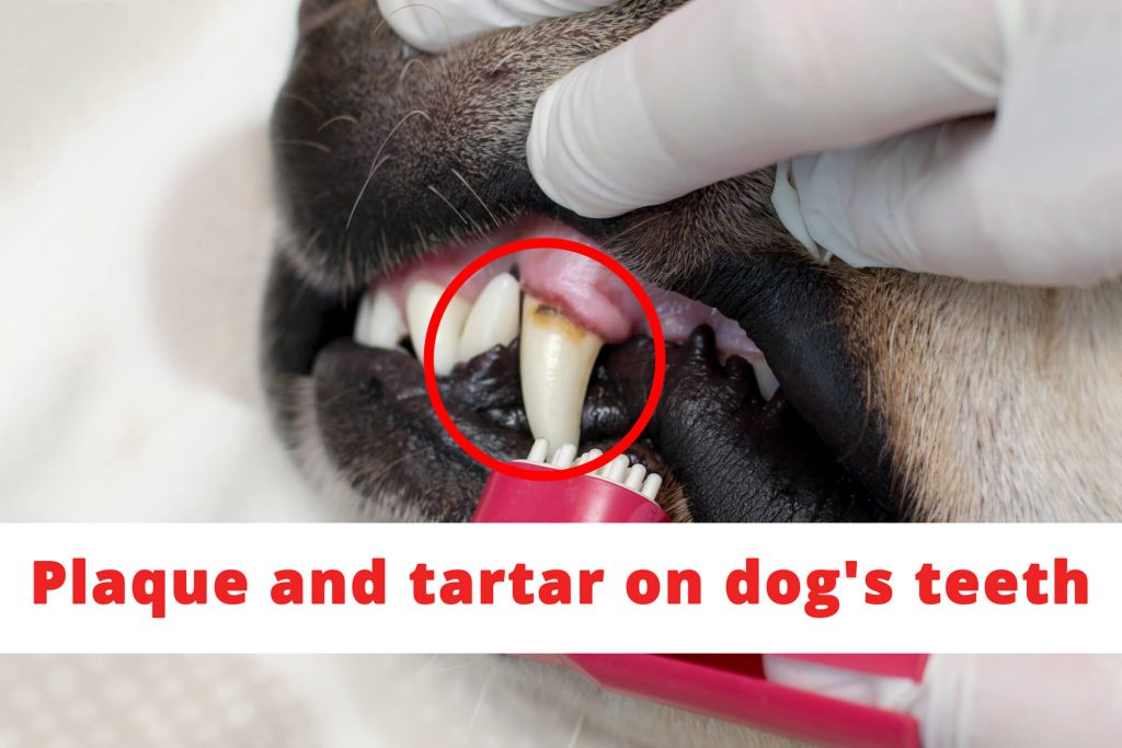 Plague tartar on dog's teeth