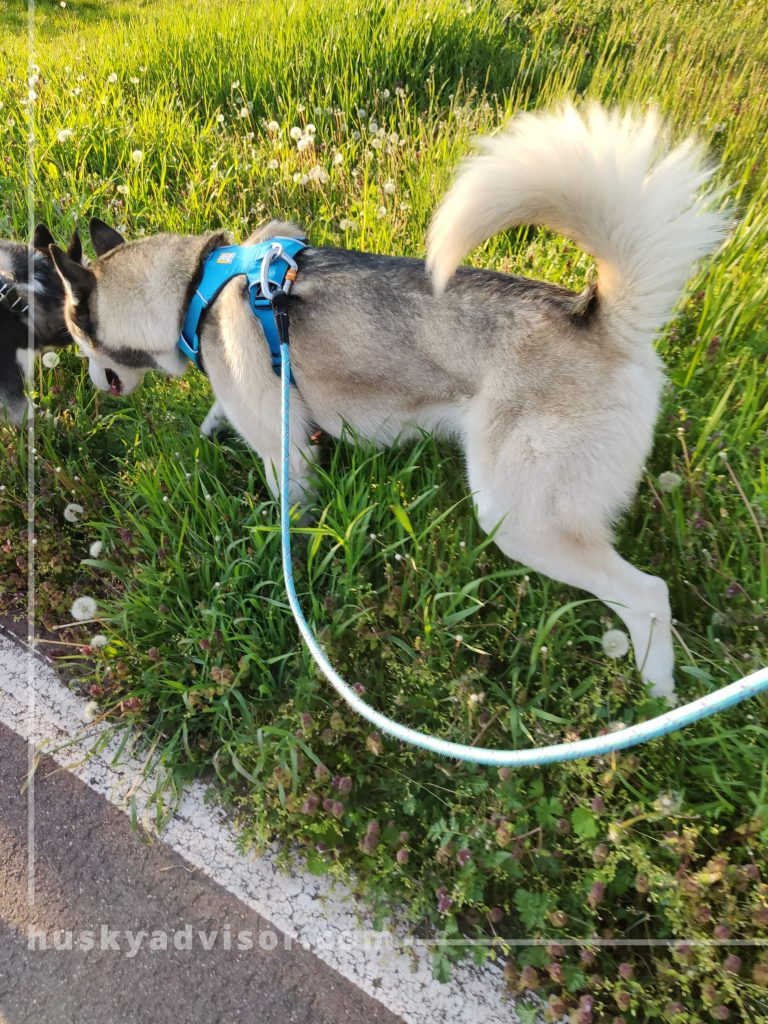 husky daily exercise